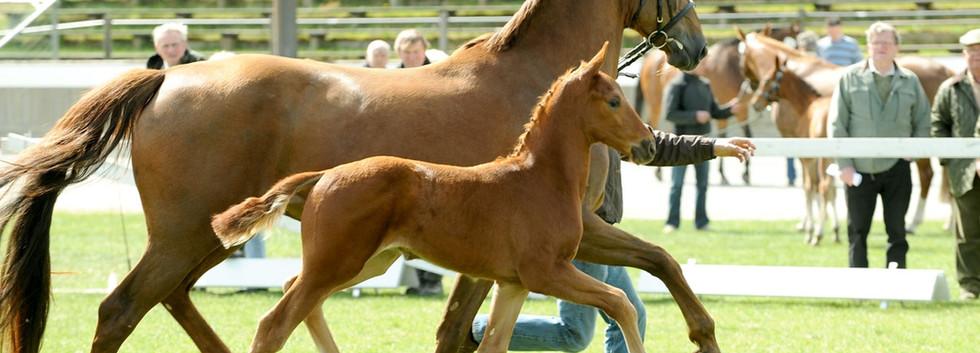 Tantoni Springsteen Oldenburg foal inspection