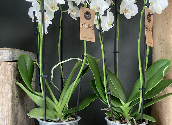 White Phalenopsis Orchid