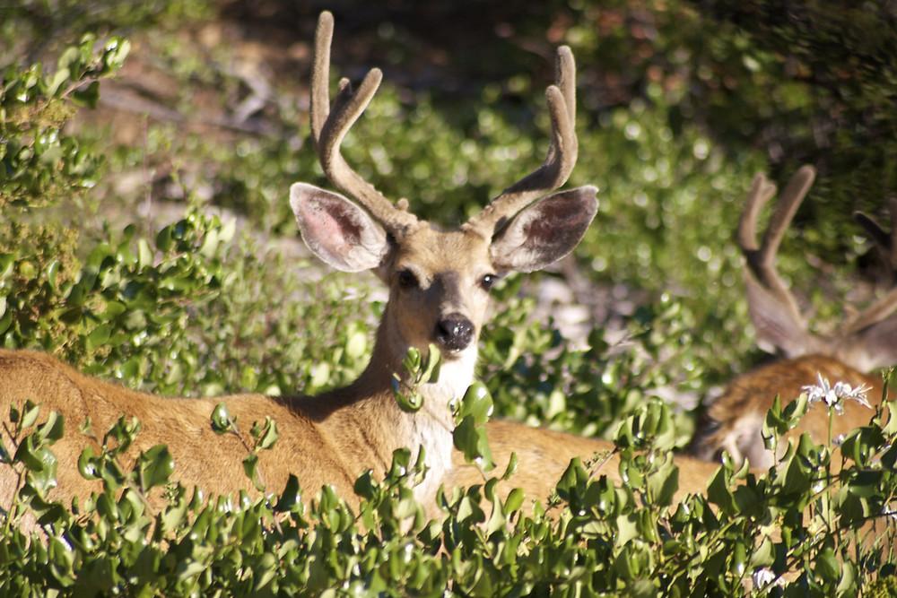 minocqua resort has deer
