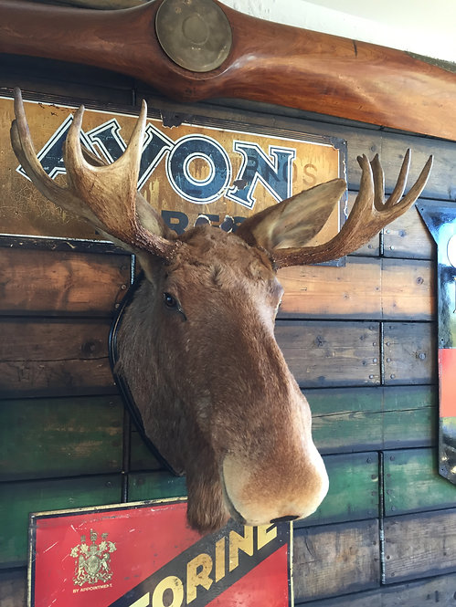 Shoulder mounted Swedish bull moose/elk
