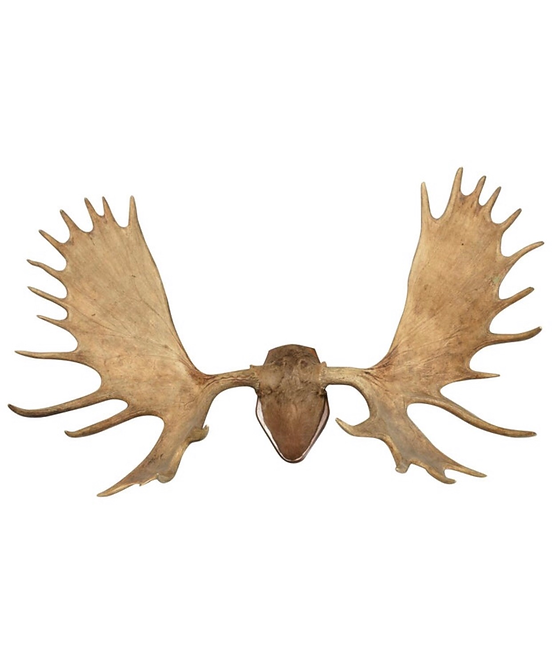 Large And Impressive Elk Antlers With 31 Points