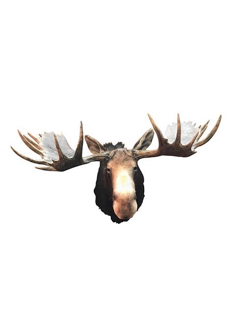 Massive shoulder mounted bull elk