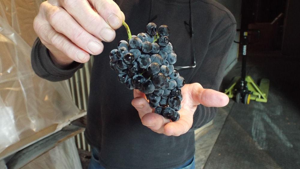 Checking grape quality