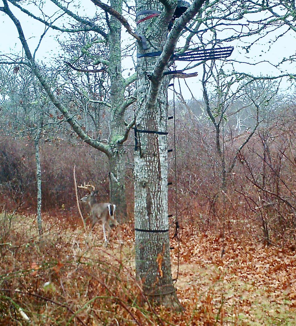 A buck walks by an unoccupied deer stand.