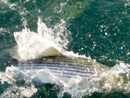 The Day of a Thousand Striped Bass