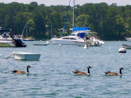 Early Goose Season Is Ineffective