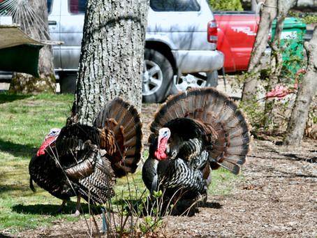 Talking Turkey on Martha's Vineyard