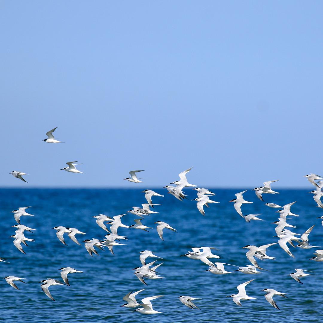 Terns take flight on Old Hunstanton beach