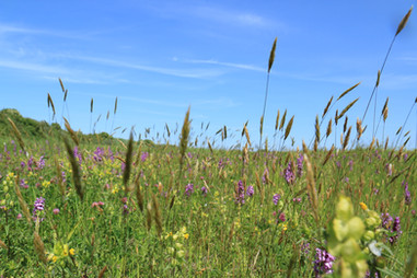 Wild flowers and grasses, Old Hunstanton