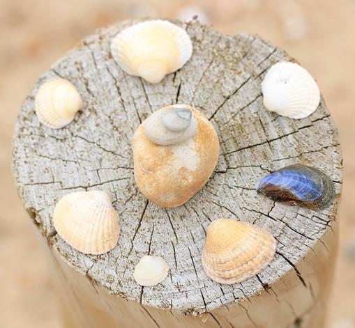 Sells arranged on a post, Old Hunstanton beach