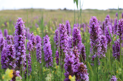 Wild Orchids Old Hunstanton