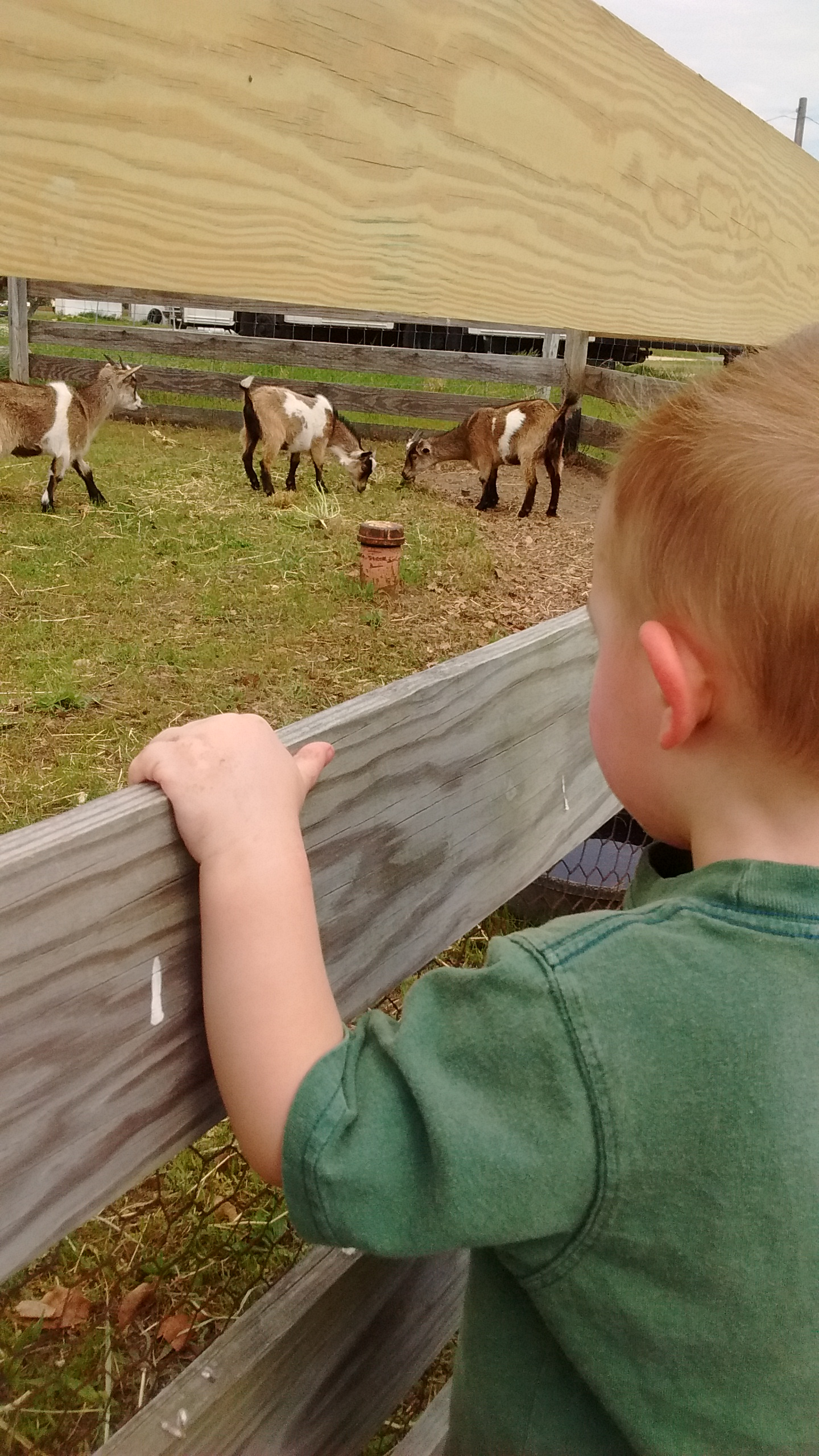 Boy and Goats