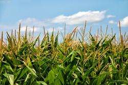 corn-tassels