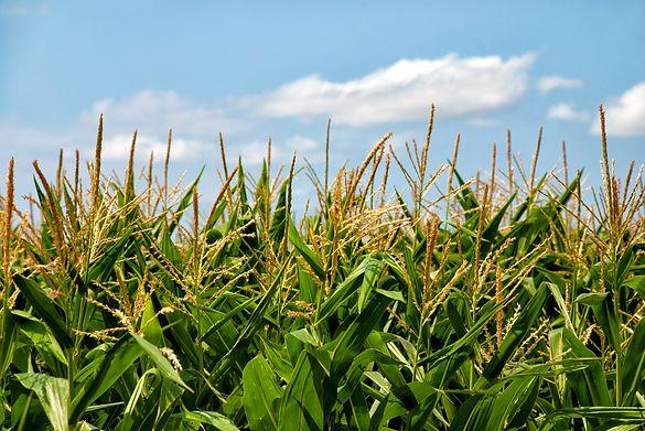 corn-tassels.jpg
