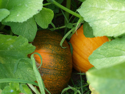 Pumpkin-beginning-to-ripen