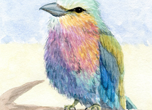 Lilac-breasted Rollerbird, 8x10