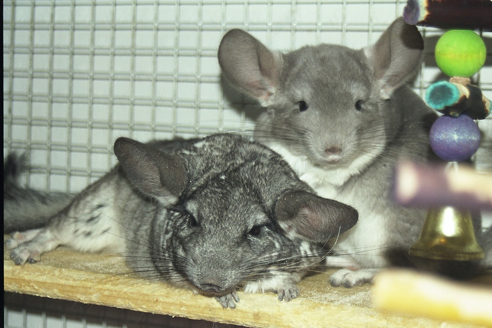 Pair of chinchillas