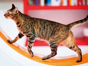 Cat walking on Catswall Design cat wheel