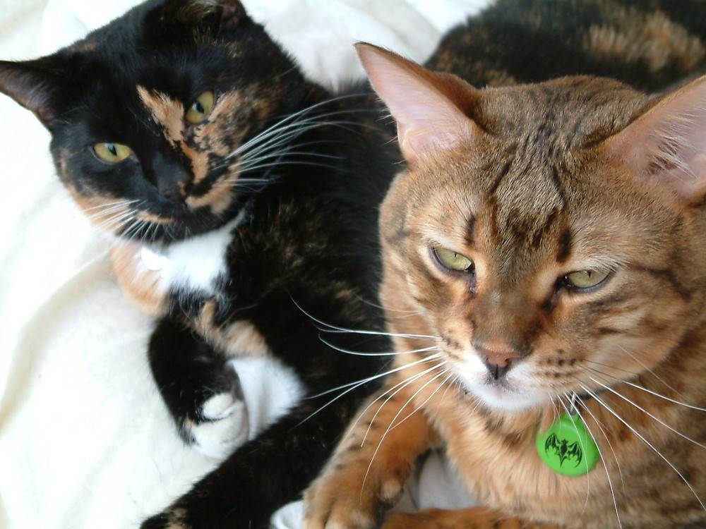 Photo of Tortoiseshell cat and Bengal cat
