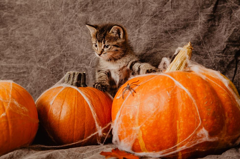 Pumpkin Kitty.png