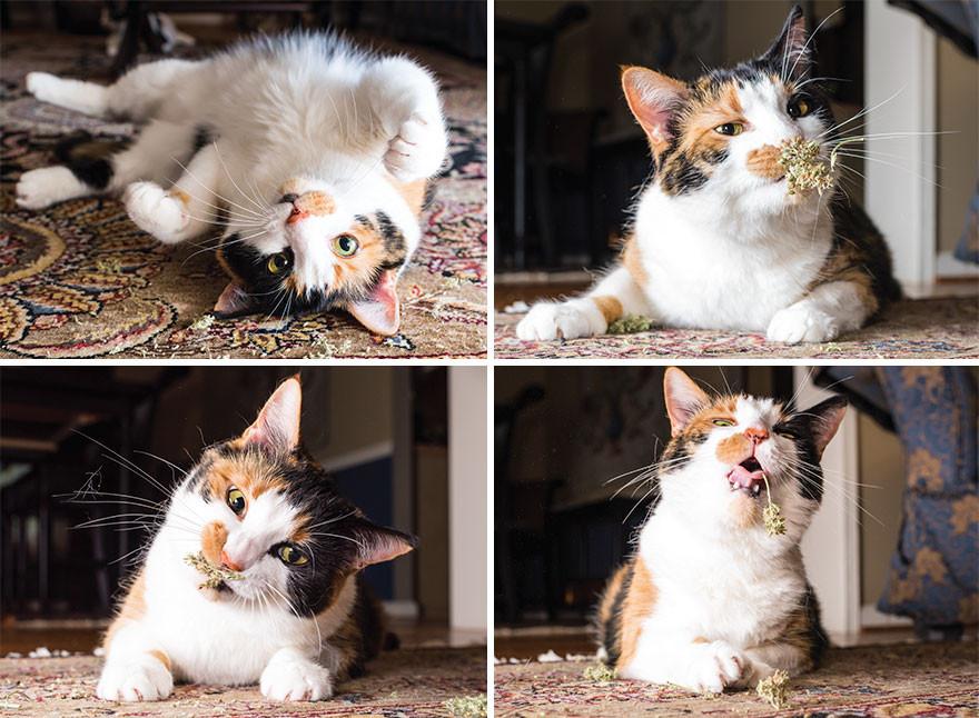 Tortie and white cat enjoying catnip buds