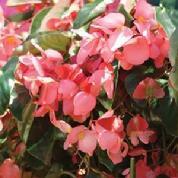 Pink Dragon Wing.jpg