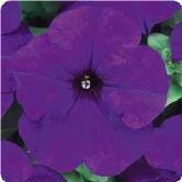 Midnight Purple.jpg