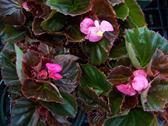 Pink Bronze Leaf.jpg