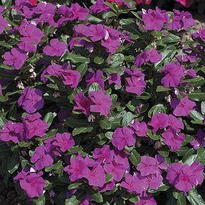 cora-violet.jpg