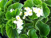 White Green Leaf.jpg