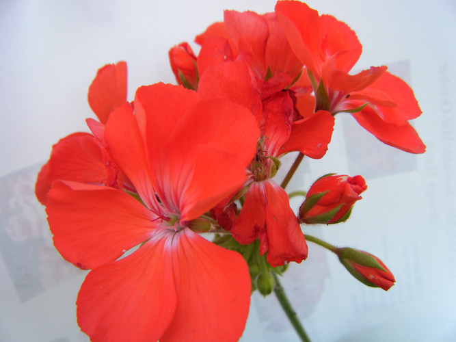 Geraniums Patriot Watermelon.JPG