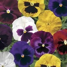 225_Pansy