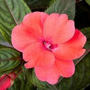 Compact Deep Rose.jpg