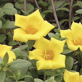 portulaca_jumbo-yellow.jpg