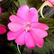 Compact Lilac.jpg