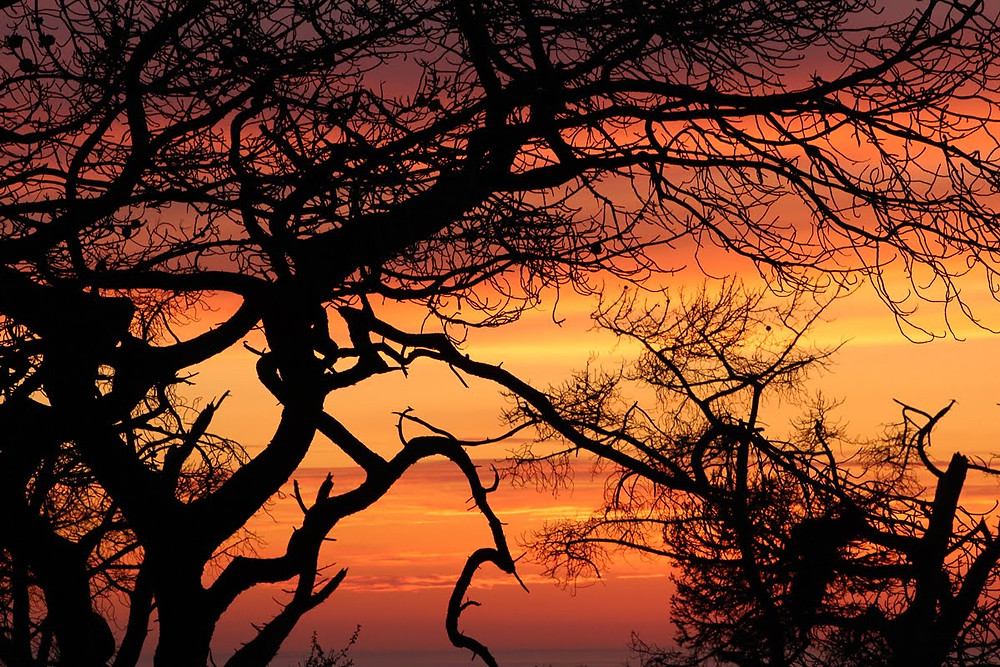 silhouette of Torrey Pine tree at sunset with red, orange, yellow sunset background