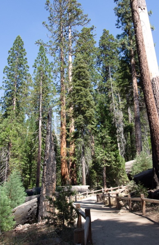 wooded path at Mariposa Grove, Yosemite National Park, California.  forest, nature, trees, sequoia trees, travel, vacation
