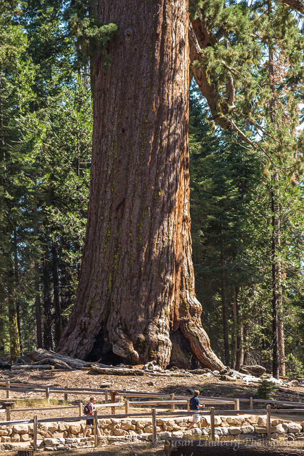 Old Grizzly, Mariposa Grove, Yosemite National Park, California.   Giant Sequoia, trees, nature, wilderness, forests