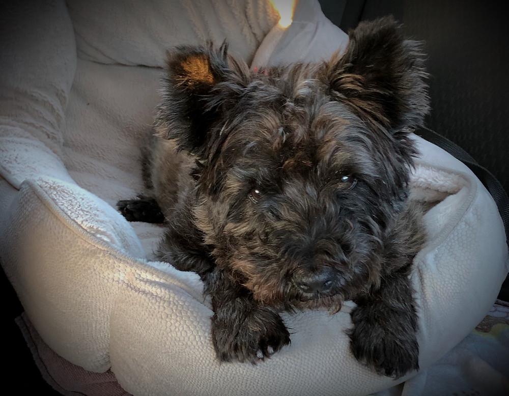 dog, pet, pet travel, international pet travel, animals, importing dogs to Australia