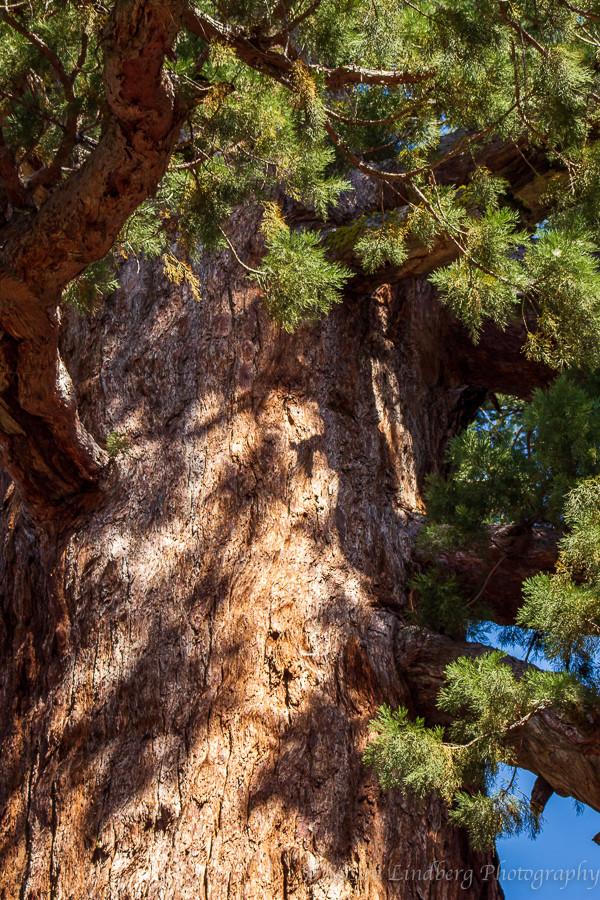 giant Sequoia tree, Mariposa Grove, Yosemite National Park, California.  vacation, travel, nature, trees, outdoors, wilderness, hiking