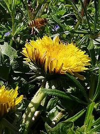 Pissenli abeille.jpg