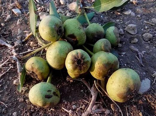 פירות הקיץ ופירות הסתיו