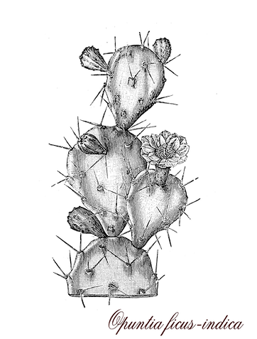 opuntia-ficus-indica-botanical-vintage-e