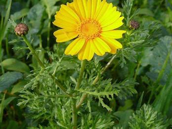 ליקוט חרצית עטורה: זהב טהור בלב השדה