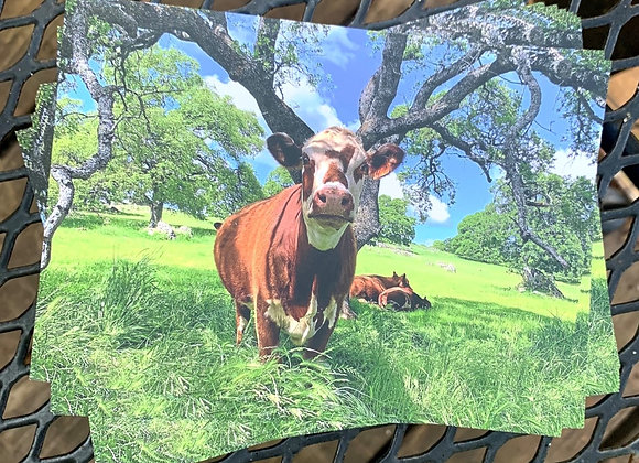 Post Card Delivery: Cow