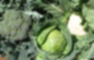 משפחת הכרוביים - אורגני