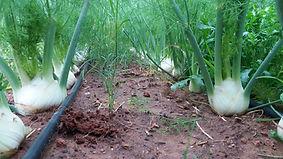 יער שומר אורגני | משק אורגני, המעפיל