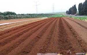 גדודיות תפוחי אדמה