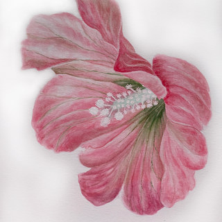 Pink (blue) hibiscus Dolly.jpg