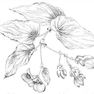 Begonia stipple upclose-erased.jpg